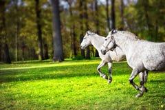 2 белых лошади бежать на лужайке Стоковое Фото