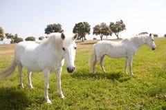 2 белых лошади в лужке Стоковые Изображения RF