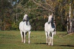 2 белых лошади на выгоне Стоковые Фотографии RF
