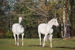 2 белых лошади на выгоне Стоковые Изображения RF