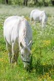 2 белых лошади на зеленом выгоне Стоковая Фотография RF