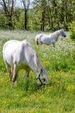 2 белых лошади на зеленом выгоне Стоковая Фотография