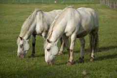 2 белых лошади на зеленом лужке Стоковые Фото