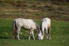 2 белых лошади пасут в луге Стоковые Фото