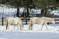 2 белых лошади пася Стоковые Фото