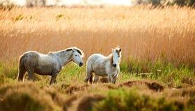 2 белых лошади Camargue Стоковые Фото