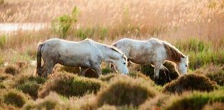 2 белых лошади Camargue Стоковое Изображение