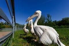 2 белых пеликана в зоопарке города, широкоформатное фото Стоковое Фото