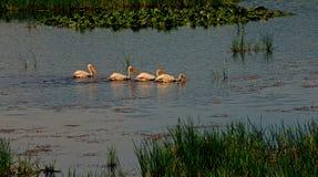 4 белых пеликана плавая в линии Стоковые Изображения RF