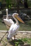2 белых пеликана с большим клювом на воде Стоковые Фотографии RF