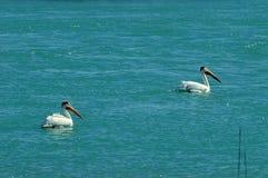 2 белых пеликана Стоковое Изображение