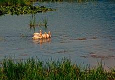 4 белых пеликана Стоковое Изображение RF