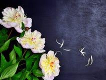 3 белых пиона с зелеными стержнями Стоковое Фото