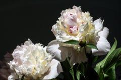 2 белых пиона Стоковая Фотография