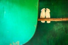 2 белых птицы в зеленой комнате Стоковая Фотография RF