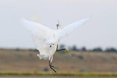 2 белых птицы в стороне боя полета к Стоковое фото RF