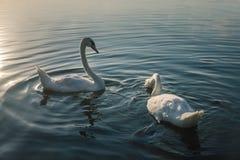 2 белых птицы лебедя на озере на заходе солнца Стоковые Изображения RF
