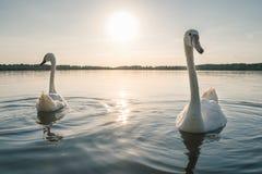 2 белых птицы лебедя на озере на заходе солнца Стоковое Фото