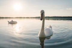 2 белых птицы лебедя на озере на заходе солнца Стоковая Фотография RF