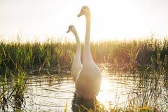 2 белых птицы лебедя на озере на заходе солнца Стоковое Изображение