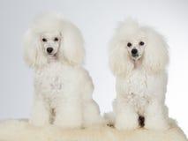 2 белых пуделя Стоковые Фотографии RF