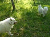 2 белых собаки в парке лета Стоковая Фотография RF