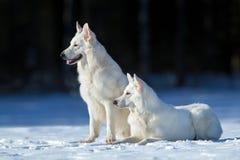 2 белых собаки на предпосылке зимы Стоковая Фотография RF