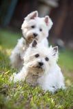 2 белых собачьих друз Стоковое Изображение