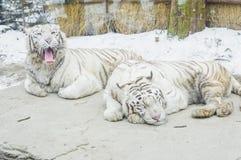 2 белых тигра в зоопарке Кореи с снегом в зиме приправляют Стоковые Фото
