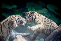 2 белых тигра в фарсе Стоковое Фото