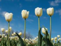 4 белых тюльпана в поле тюльпана Стоковые Фотографии RF