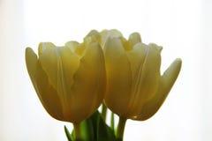 3 белых тюльпана на светлой предпосылке Стоковые Изображения RF