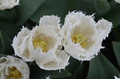 2 белых тюльпана сверху Стоковые Фото