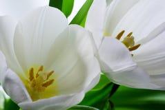 2 белых тюльпана Стоковые Фото