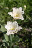 2 белых тюльпана Стоковая Фотография RF