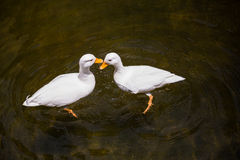 2 белых утки в пруде Стоковые Изображения