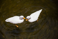 2 белых утки в пруде Стоковые Изображения RF