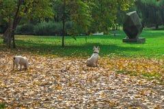 2 белых французских бульдога Стоковое Фото