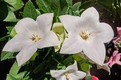2 белых цветка астры Стоковая Фотография