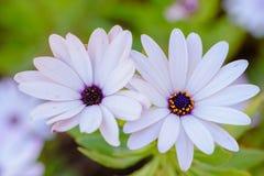 2 белых цветка в поле Стоковое фото RF