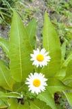 2 белых цветка в саде Стоковое Изображение RF