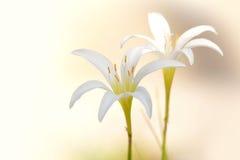 2 белых цветка лилии дождя Стоковая Фотография