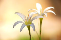 2 белых цветка лилии дождя Стоковые Фото