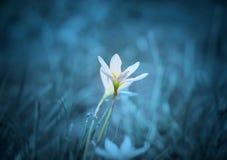 2 белых цветка лилии дождя Стоковая Фотография RF