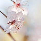 2 белых цветка конца-вверх вишни Стоковые Фото