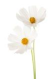 2 белых цветка космоса изолированного на белой предпосылке спа сада космоса предпосылок Стоковое Фото