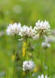 3 белых цветка клевера Стоковые Фото