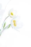 2 белых цветка на изолированной предпосылке Стоковые Изображения