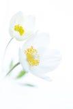 2 белых цветка на предпосылке Стоковые Фото