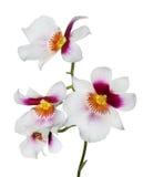 4 белых цветка орхидеи с розовым и желтым центром Стоковое фото RF